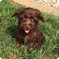 Adopt A Pet :: Ace - Fairview Heights, IL