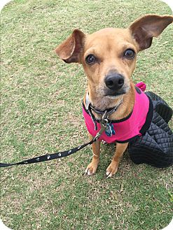 Terrier (Unknown Type, Small)/Italian Greyhound Mix Dog for adoption in Arlington, Texas - IVY