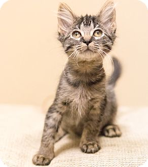 Domestic Shorthair Kitten for adoption in Chicago, Illinois - Thyme