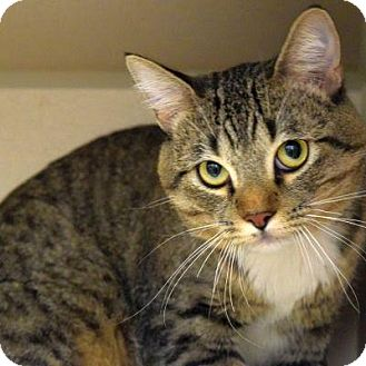 Domestic Shorthair Cat for adoption in Denver, Colorado - Bugsy