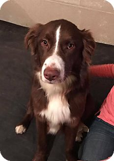 Australian Shepherd Mix Dog for adoption in chicago, Illinois - Efrom