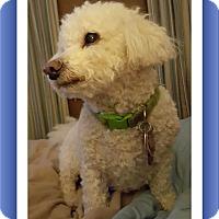 Bichon Frise Dog for adoption in Tulsa, Oklahoma - Maddy - MD