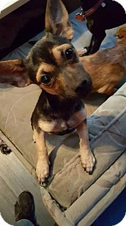 Dachshund Mix Puppy for adoption in Aurora, Colorado - Paris
