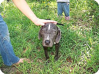 Weimaraner/Blue Lacy/Texas Lacy Mix Dog for adoption in East Hartford, Connecticut - Briggs