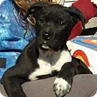 Adopt A Pet :: Flicka (15 lb) Video!
