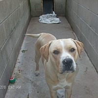 Adopt A Pet :: BLAZE - KELLYVILLE, OK