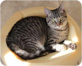 Domestic Shorthair Kitten for adoption in Duncan, British Columbia - Duggles