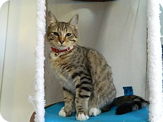 Domestic Shorthair Cat for adoption in The Colony, Texas - Samba