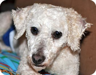 Poodle (Miniature) Dog for adoption in Howell, Michigan - Higgins