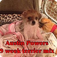 Adopt A Pet :: Austin Power - Staunton, VA
