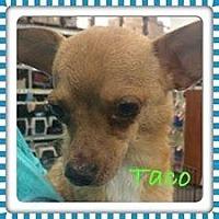 Chihuahua Mix Dog for adoption in Fresno, California - Taco