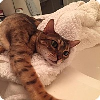Bengal Cat for adoption in Houston, Texas - Becca - Front Paw Declawed