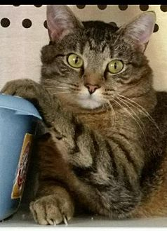Domestic Shorthair Cat for adoption in Crossville, Tennessee - Abbie