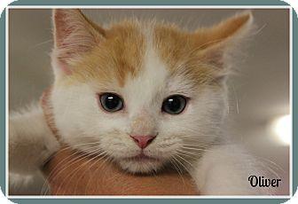 Siamese Kitten for adoption in New Richmond,, Wisconsin - Oliver