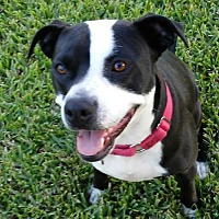 Terrier (Unknown Type, Medium)/Boxer Mix Dog for adoption in League City, Texas - Sadie