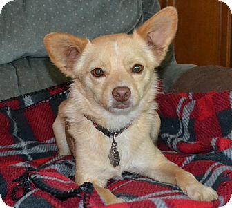 Shiba Inu Mix Dog for adoption in Simi Valley, California - Hershey