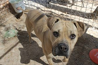 Boxer/Pit Bull Terrier Mix Dog for adoption in Las Vegas, Nevada - Rosie