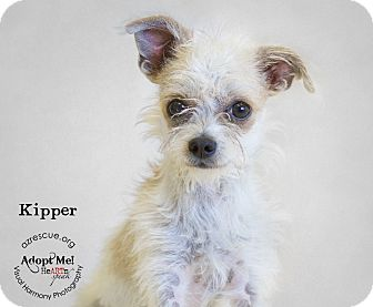 Cairn Terrier Mix Dog for adoption in Phoenix, Arizona - Kipper