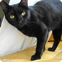 Domestic Shorthair Cat for adoption in Manteo, North Carolina - Reese