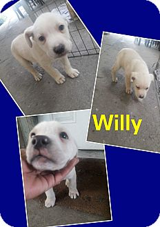 German Shepherd Dog/Retriever (Unknown Type) Mix Puppy for adoption in LAKEWOOD, California - Willy