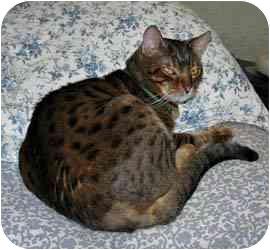 Bengal Cat for adoption in Los Angeles, California - Tigger and Sheba (m/f PAIR)