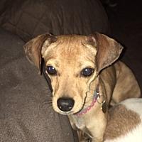 Adopt A Pet :: Abby - Studio City, CA