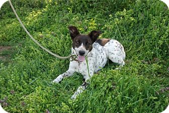 Australian Cattle Dog Mix Puppy for adoption in Albany, New York - Biscuit
