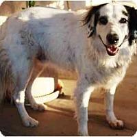 Adopt A Pet :: Spudz - Gilbert, AZ