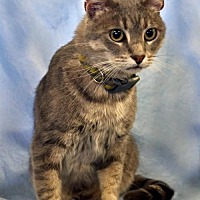 Adopt A Pet :: Max the Cat  Male - knoxville, TN