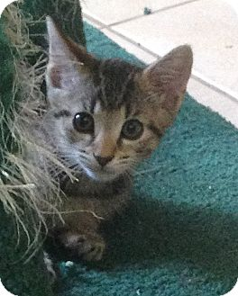 Domestic Shorthair Kitten for adoption in Tampa, Florida - Jazzy