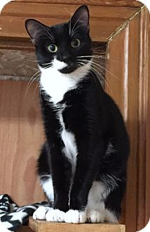 Domestic Shorthair Cat for adoption in Greensburg, Pennsylvania - Desdemona