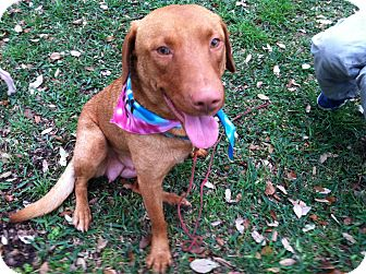 Chesapeake Bay Retriever/Labrador Retriever Mix Dog for adoption in Boerne, Texas - Corinna