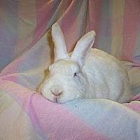 Adopt A Pet :: Brigit - Holbrook, NY