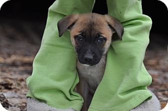 Labrador Retriever Mix Puppy for adoption in Sparta, New Jersey - Little Bear