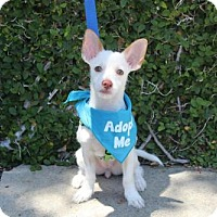 Adopt A Pet :: Darlene - Los Angeles, CA