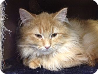 Domestic Longhair Cat for adoption in Byron Center, Michigan - Spice