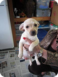 Dachshund/Terrier (Unknown Type, Small) Mix Puppy for adoption in Bellingham, Washington - Ben