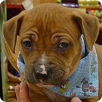 Adopt A Pet :: Tank big boy - Sacramento, CA