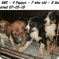 Adopt A Pet :: Collie mix pups!ADOPTED! - Chicago, IL