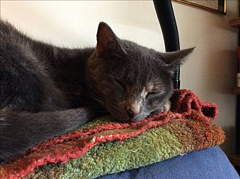 Domestic Shorthair Cat for adoption in Nashville, Tennessee - Twinkie