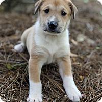 Adopt A Pet :: Virginia - Alpharetta, GA