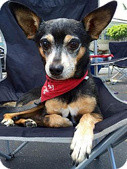 Chihuahua/Miniature Pinscher Mix Dog for adoption in Los Angeles, California - DANCER