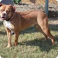 Boxer/Retriever (Unknown Type) Mix Dog for adoption in Sherman, Connecticut - Charlotte