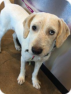 Labrador Retriever/Australian Shepherd Mix Puppy for adoption in San Antonio, Texas - Layla