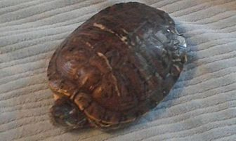 Turtle - Other for adoption in Aurora, Illinois - Fiona