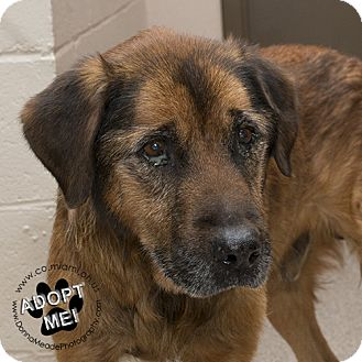 Shepherd (Unknown Type) Mix Dog for adoption in Troy, Ohio - Floyd- Pending Adoption