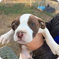 Adopt A Pet :: Boy puppy - Covington, TN