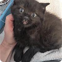 Adopt A Pet :: Muffin - Dumfries, VA