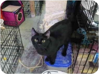 Domestic Shorthair Cat for adoption in Pendleton, Oregon - Chinook