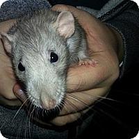Adopt A Pet :: Blue - Lakewood, WA
